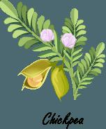 Chickpeas plant