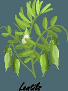 Lentil plant